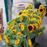 sunflowersweb2